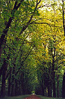 Trees on leafy path